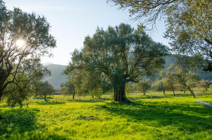 Olivenbaum auf naturbelassenem Feld